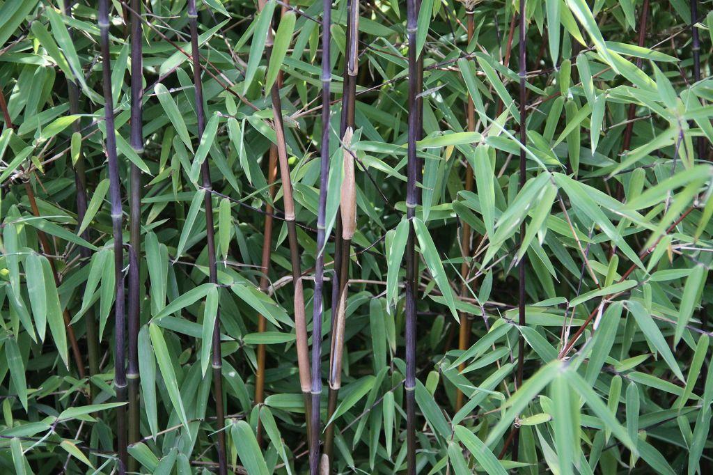 bambus pflanzenshop fargesia nitida 39 jiuzhaigou 4. Black Bedroom Furniture Sets. Home Design Ideas